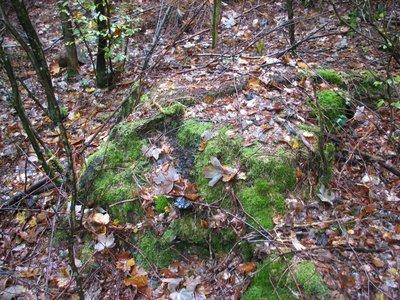 souche du plus vieux chêne d'europe avéré.JPG