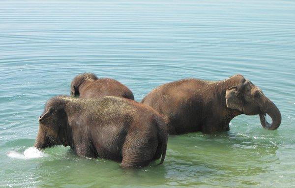 éléphants qui se baignent.jpg