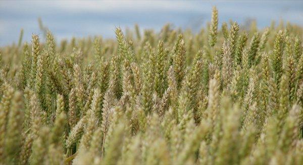 champ de blé.jpg