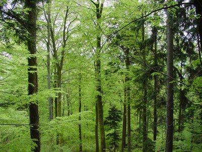 Forêt verte.jpg