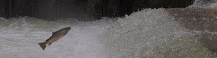 truite de lac saute dans une chute.jpg