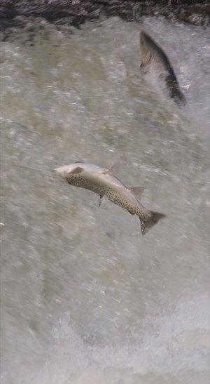 double saut de truite dans la chute.jpg