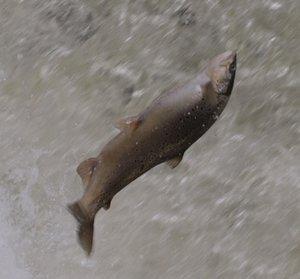truite saute sur le dos.jpg