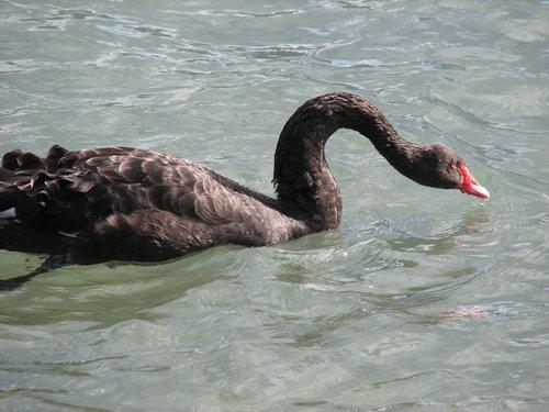 cygne noir sur le lac de thun.jpg