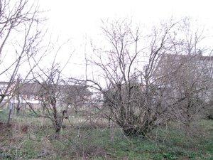 IMG_1727-arbre à tailler.JPG