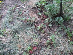 IMG_2094 fraise sous du paillage.JPG