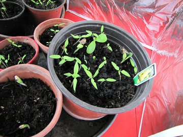 plantons courge 25 avril 2011.jpg