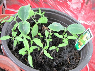 plantons courge 29 avril 2011.jpg
