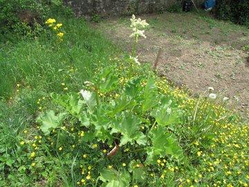 rhubarbe en fleur 1er mai.jpg