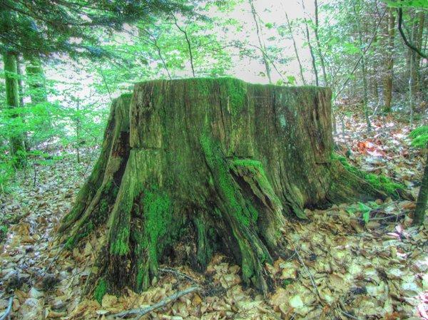 souche vieux chêne de Perreux 500 ans.jpg