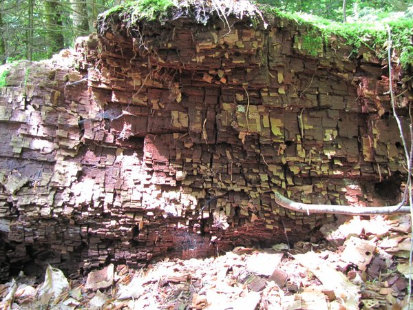 décomposition bois de chêne 500 ans.jpg