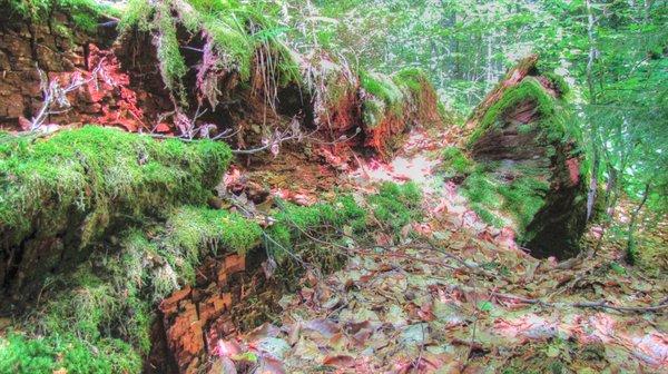 tronc du plus vieu chêne d europe.jpg