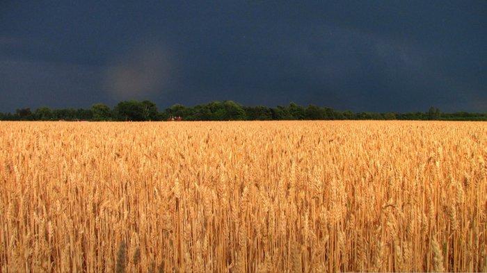 champ de blé doré plaine areuse.jpg