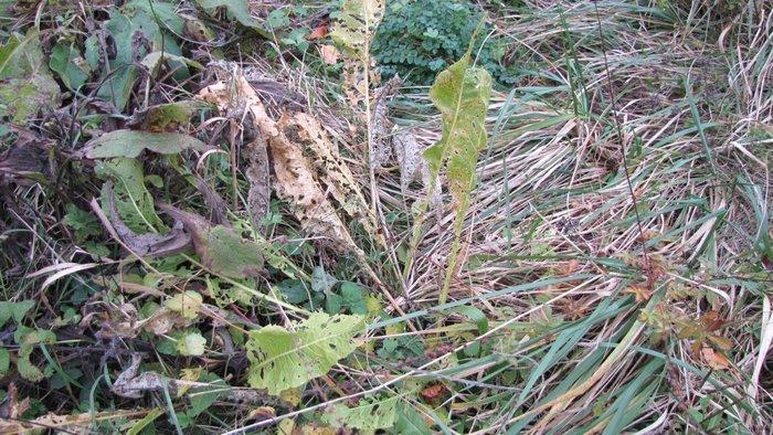 feuilles de raifort.JPG