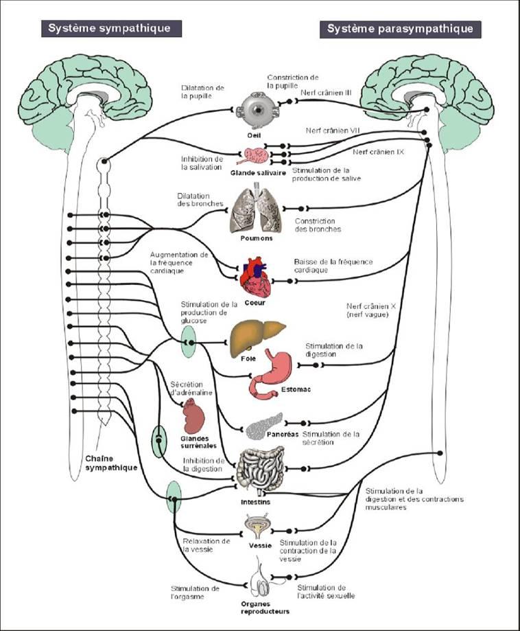 systeme nerveux autonome sympathique parasympathique