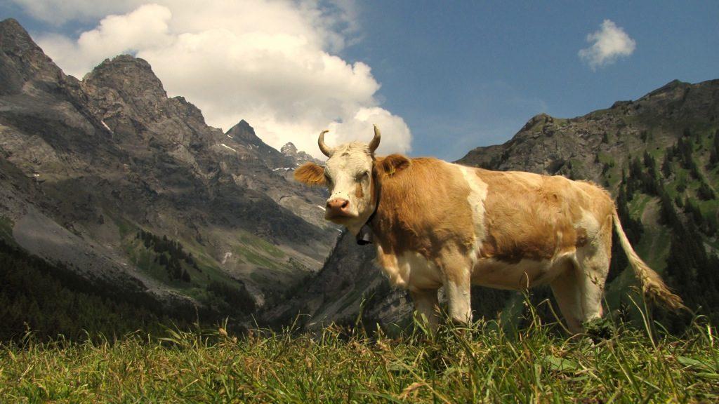 vache-a-cornes