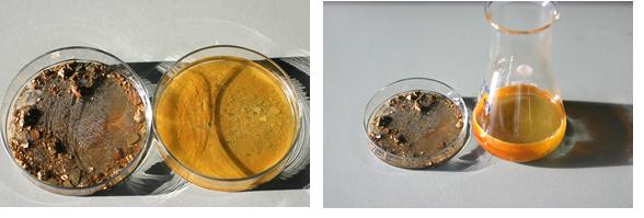 pyrite oxydée par des bactéries