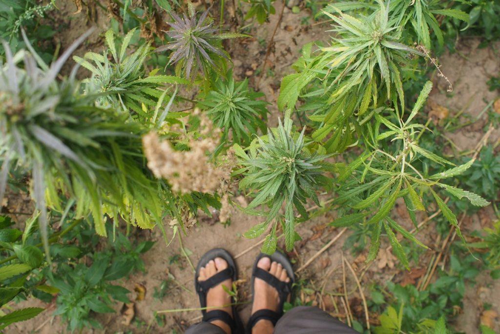 pieds de Martouf champ cannabis jersey