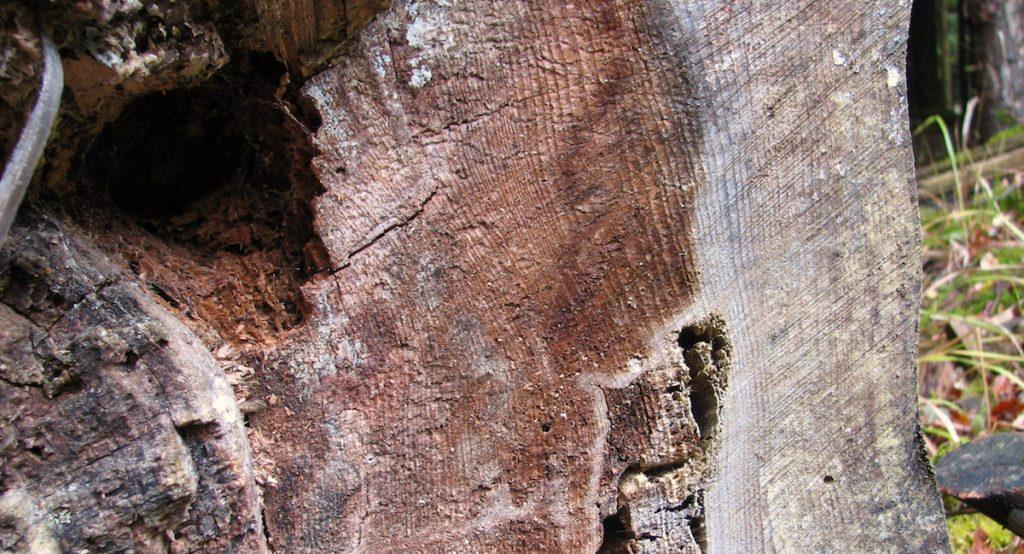 cerne-des-arbres-vieux-chene