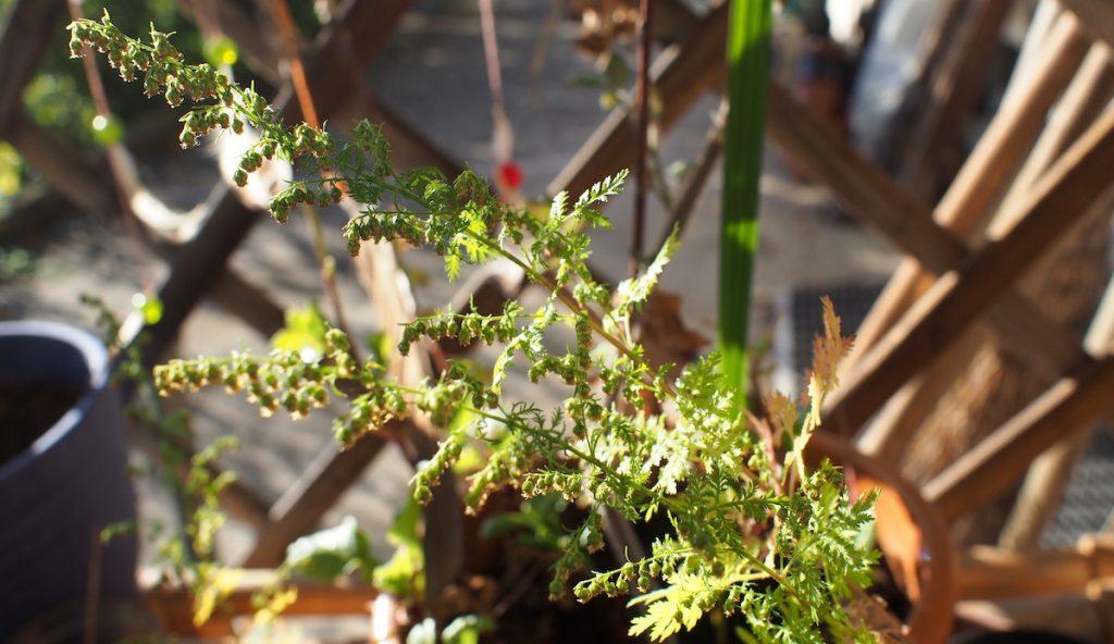 Armoise Annuelle (Artemisia annua) soin paludisme malaria
